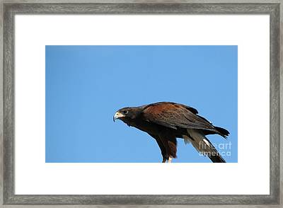 Harris Hawk Ready For Takeoff Framed Print