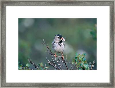 Harris Sparrow Framed Print by William H. Mullins