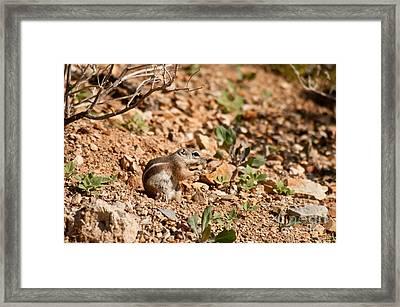Harriss Antelope Squirrel Framed Print
