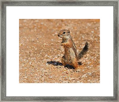 Harris's Antelope Squirrel Framed Print