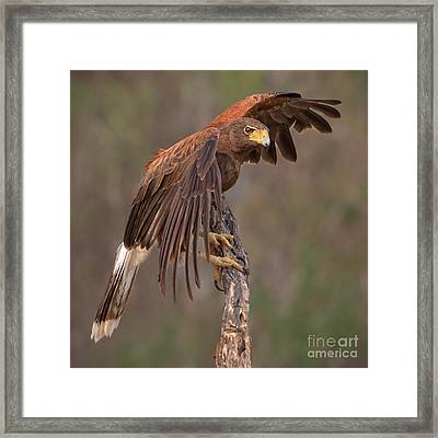 Harris's Hawk 1 Framed Print by Jerry Fornarotto