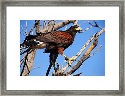 Harris's Hawk Framed Print