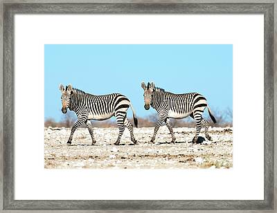 Hartmann's Mountain Zebra Framed Print