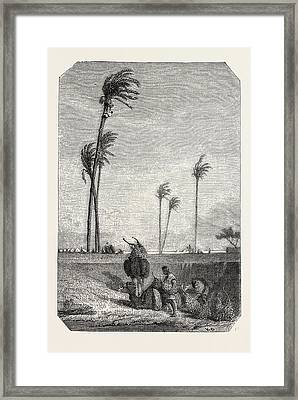 Harvest Dates In Egypt Framed Print