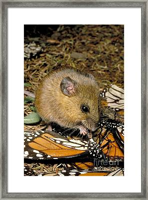 Harvest Mouse Eating Monarchs Framed Print by Gregory G. Dimijian