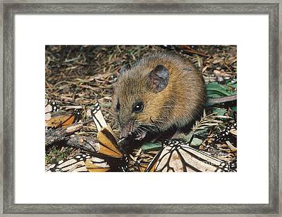 Harvest Mouse Feeds On Monarchs Framed Print by Gregory G. Dimijian