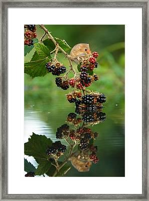 Harvest Mouse On Blackberries With Reflection Framed Print by Izzy Standbridge