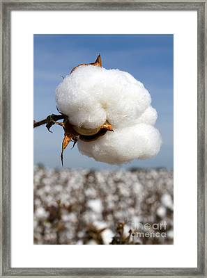 Harvest Ready Cotton Boll Framed Print