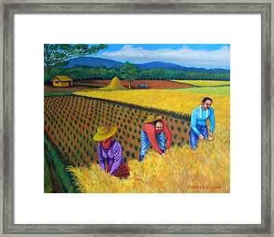 Harvest Season Framed Print