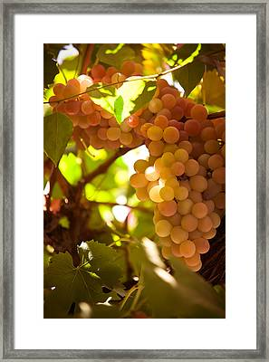 Harvest Time. Sunny Grapes IIi Framed Print by Jenny Rainbow