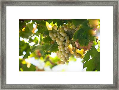 Harvest Time. Sunny Grapes Iv Framed Print