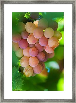 Harvest Time. Sunny Grapes Framed Print by Jenny Rainbow