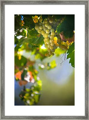 Harvest Time. Sunny Grapes V Framed Print by Jenny Rainbow