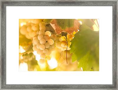 Harvest Time. Sunny Grapes Vi Framed Print by Jenny Rainbow