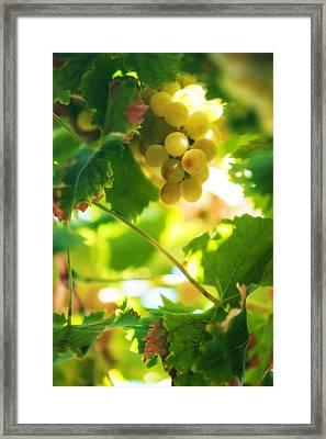 Harvest Time. Sunny Grapes Vii Framed Print by Jenny Rainbow