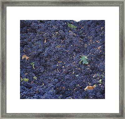 Harvested Cabernet Sauvignon Grapes Framed Print by Panoramic Images