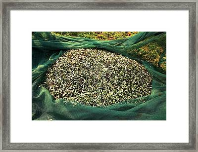 Harvested Olives Framed Print by Mauro Fermariello