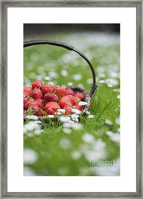 Harvested Strawberries Framed Print by Tim Gainey