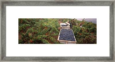 Harvesting Grapes In A Vineyard, Napa Framed Print