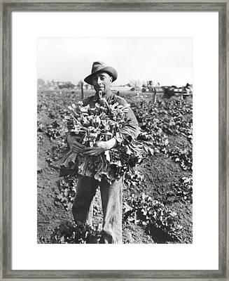 Harvesting Rhubarb In Alameda Framed Print