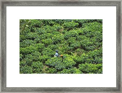 Harvesting Tea At Tea Plantation Framed Print