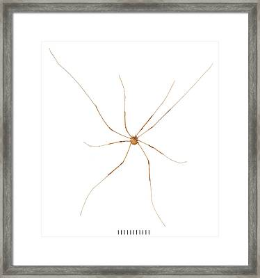 Harvestman Framed Print by Natural History Museum, London