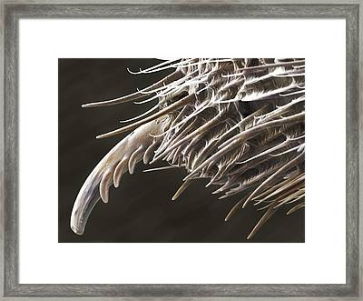 Harvestman Palp Terminal (sem) Framed Print by Science Photo Library