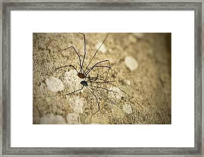 Framed Print featuring the photograph Harvestman Spider by Chevy Fleet
