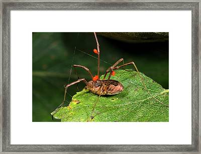 Harvestman With Mites Framed Print by Nigel Downer