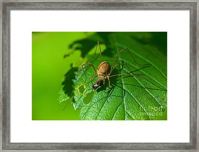 Harvestman With Prey Framed Print by Steen Drozd Lund