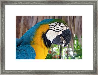 Harvey The Parrot 2 Framed Print