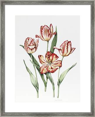 Hatfield Tulip Framed Print by Sally Crosthwaite