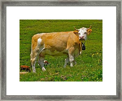 Haughty Bovine Framed Print by Dwight Pinkley