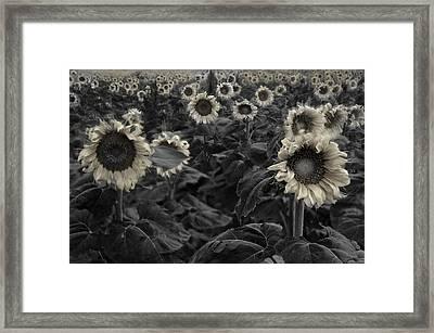 Haunting Sunflowers Field 3 Framed Print