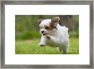 Havana Bichon Puppy  Framed Print