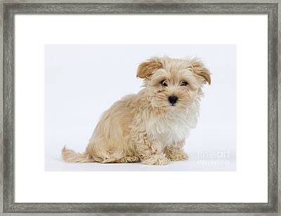 Havanese Dog Framed Print by Jean-Michel Labat