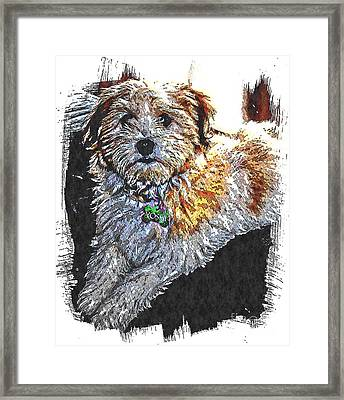 Havanese Puppy Framed Print by Barbara Griffin