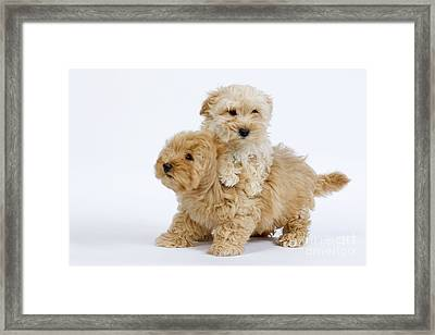 Havanese Puppy Dogs Framed Print
