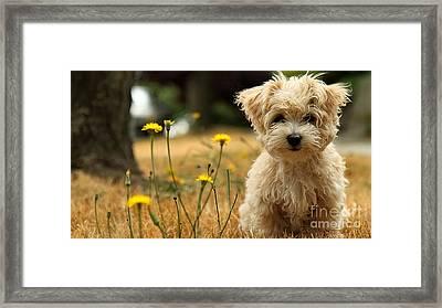 Havanese Puppy  Framed Print