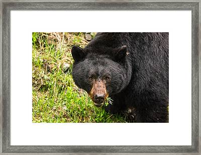 Having A Salad Before The Main Meal Is Always Healthy-wild Black Bear Framed Print by Eti Reid