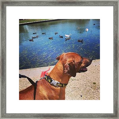 Having Fun At The Duck Pond :) Framed Print