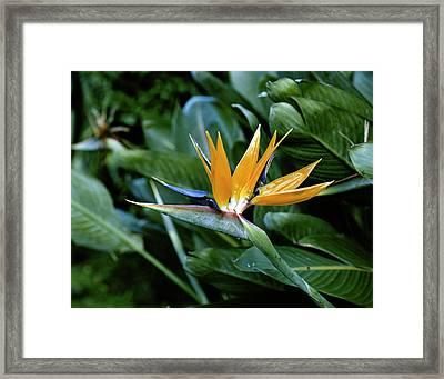 Hawaii Islands, Bird Of Paradise Flower Framed Print by Douglas Peebles