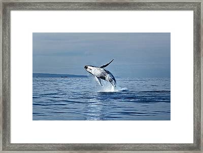 Hawaii Whale Breach Framed Print by Pasha Reshikov