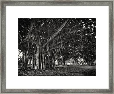 Hawaiian Banyan Tree Root Study Framed Print