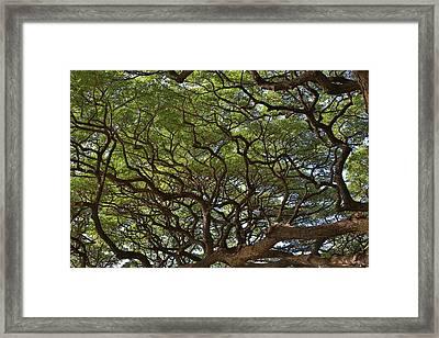 Hawaiian Banyan Tree Framed Print by Sam Amato