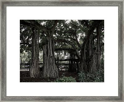 Hawaiian Banyan Trees Framed Print by Daniel Hagerman
