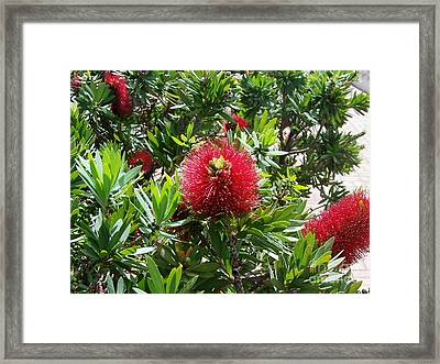 Framed Print featuring the photograph Hawaiian Bottle Brush Flower by Brigitte Emme