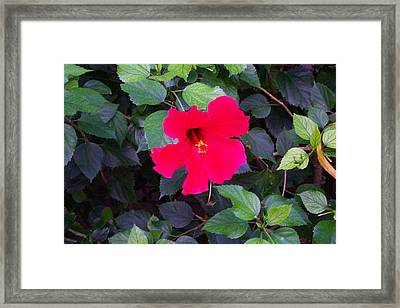 Hawaiian Flower Framed Print