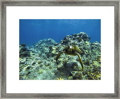 Hawaiian Green Sea Turtle Framed Print by Brad Scott