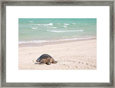 Hawaiian Green Turtle / Chelonia Mydas Framed Print by Daisy Gilardini